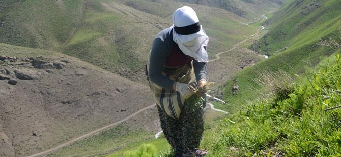 Hakkarili kadınların dağlardaki ot mesaisi galerisi resim 1