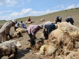 Günde 450 TL'ye koyun kırkıyorlar
