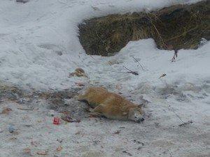Donarak telef olan köpek olay yerinden alındı!