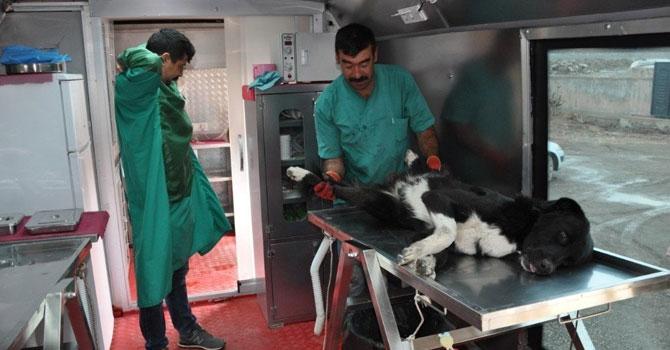 Yüksekova'da köpekler kısırlaştırılıyor