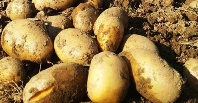 İthal patatesi Bakan'ın firması mı getirecek?