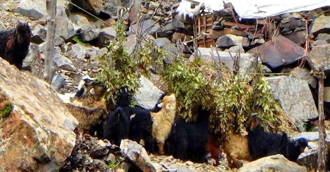 Besiciler oğlakları meşe dallarıyla besliyor