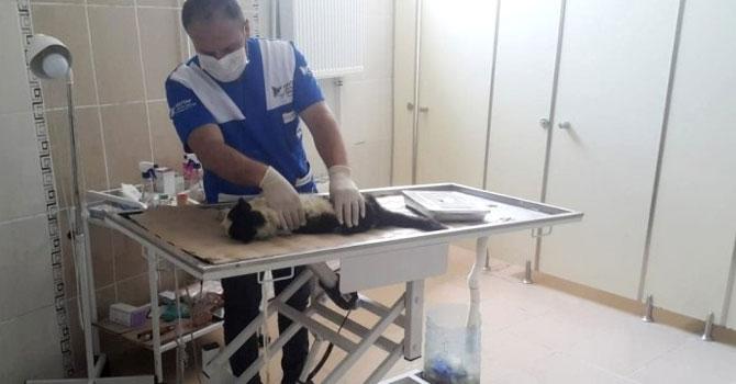 Veteriner ekipleri iki yaralı kediyi kurtardı