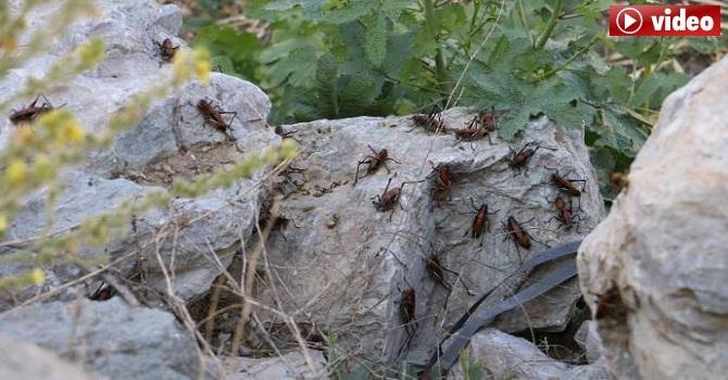 Hakkari'de Sayıları artan çekirgeler ekinleri tehdit ediyor!