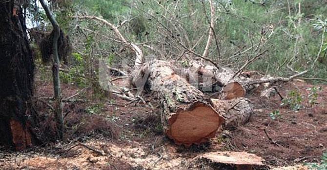 Kestiği ağacın altında kalan adamın cesedi 4 gün sonra bulundu