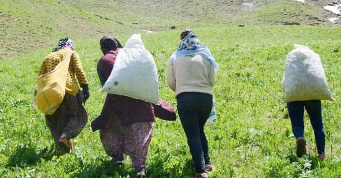 Hakkarili kadınların dağlardaki ot mesaisi