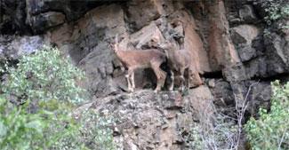Hakkari'de dağ keçileri görüntülendi