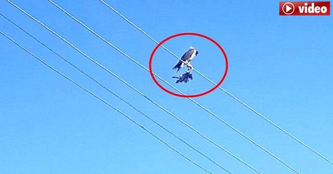 Yüksekova'da Ayaklarına kuş ölüsü bağlanıp, başına maske takılan şahin kurtarıldı