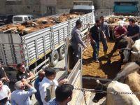 Yüksekova'da 66 çiftçiye 396 damızlık düve dağıtıldı