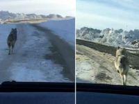 Hakkari'de aç kalan kurt böyle görüntülendi
