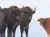 Özgür olmak için çiftlikten kaçıp bizon sürüsüne katılmıştı..Aşırı stresten öldü