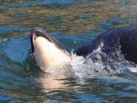 Anne balina, ölü yavrusunu 17 gün sırtında taşıdı