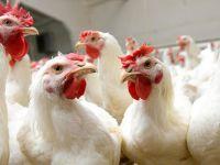 Marmara ve Ege'de toplam 870 beyaz et üreticisi kepenk kapattı
