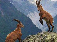 Dağ keçilerini avlayanlara 42 bin para cezası