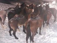 Hakkari'de mahsur kalan 14 at kurtarıldı