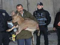 Hakkari'de çığ altında kalan dağ keçisinin bacakları kırıldı