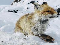 Tilki soğuktan dondu