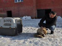 Yüksekova'da yaralı tilki tedavi altına alındı