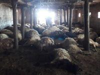 Hakkari'de Aç Kalan Kurtlar Girdikleri Ahırdaki 110 Koyunu Telef Etti!