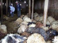 Hakkari'de ağıla dadanan kurtlar 79 koyunu telef etti!