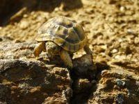 Gözüne diken batan kaplumbağayı 'gezgin öğretmen' kurtardı