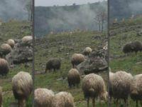 Tunceli'de dağ keçileri ve koyun sürüsü bir arada