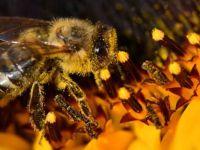Brezilya'da son 3 ayda 500 milyondan fazla arı öldü