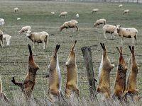 Hedef sadece develer mi? Avustralya hükümetinin yabani hayvanlarla 'mücadelesi'