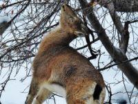 Cudi'nin dağ keçileri avcıların hedefinde!