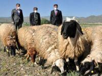 Sarı kızın sahibi Mehmet amcaya 20 koyun