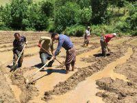 Çukurca Belediye Başkanı Dündar çeltik tarlasında çalıştı