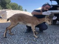 Yüksekova'da yaralı halde bulunan dağ keçisi tedavi altına alındı