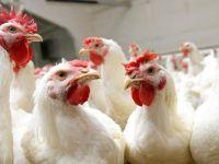 Dondurulmuş tavuk kanatlarında corona virüs tespit edildi