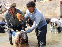 Hakkari'de kuzuları şampuanla yıkayıp şenliğe hazırladılar