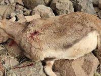 Tunceli'de avcılar, koruma altındaki yaban keçisini katletti