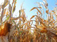 DEDAŞ'ın kesintileri mısır üretimini vurdu