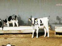İmplantlar sadece sığır, koyun, keçi, geyik, vizon ve kedilerden elde edilecek