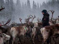 Ren geyiği çobanları, rüzgar çiftliğine karşı mücadele ediyor